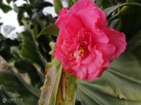 九曲河边的山茶花开了,鲜红鲜红的,看上去像牡丹。理想的爱,谦让——山茶花。(多图)