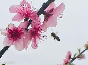 手机拍春天,蜜蜂怎么也飞不出花花的世界!