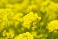 龙泉山下菜花黄