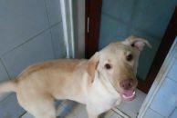 7个月大拉布拉多犬找主人,600元!