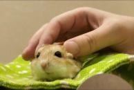 想在乐虎app手机版有偿领养一只通心粉鼠!网上买了一只通心粉鼠,无奈快递太残暴...