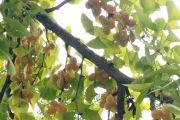 秋天是收获的季节,雷竞技下载链接街上银杏树上,接满的白果也快熟了...