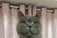 基因优良的蓝猫种公,欢迎铲屎官借配。另有美短虎斑弟弟、梵文弟弟红包领养