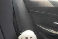寻狗启示:小体型母狗比熊18日凌晨在梅西走失,名字叫款姐!酬金2000元,拜托各位!