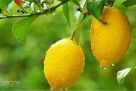 """阳爷爷讲故事:""""安岳柠檬之父""""邹江亭与一颗树的神话奇迹"""