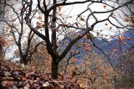 秋的收获,在18新利官方下载晏家坝寻找心中的野柿子树,还有不少意外收获!