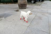 瞧这宠物宠得都穿上红皮鞋啦!走在街上还特招人喜欢的