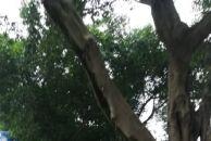 (图片+视频)雷竞技下载链接电信大楼外雷竞技下载链接园林绿化的工人在给树木美容,这样感觉路都宽了不少!