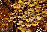 【活动时间延长】晒图得贺卡、领书签...今年银杏又变得金黄了,快打卡!