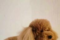 【寻狗启示 酬金三千】11月19日下午四点半,我家泰迪狗狗在禾邦都市绿洲附近丢失