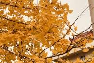 【晒18新利官方下载银杏】骏兴路的银杏黄了一部分,更黄了才好看!