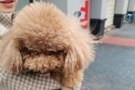 迷路王子回家了!感谢每一个转发的人,我家的狗狗终于找到了!