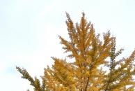 【晒18新利官方下载银杏】满城尽带黄金甲!这周末可以约起扫黄了!拍美照!