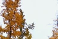 【拍18新利官方下载银杏】初冬最美的风景,今冬最美的银杏叶和爱臭美的我!