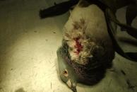 求扩散!这只受伤的信鸽飞进了我们的办公室,已送宠物医院救治!信鸽的主人您在哪?