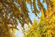【晒18新利官方下载银杏】18新利官方下载最美街道来了!小北街的银杏叶已到了赏叶最佳季,美得一塌糊涂!