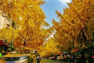 【晒18新利官方下载银杏】小北街的银杏叶一夜之间全黄了,洋洋洒洒的飘落,人行道已是金黄一片。
