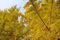 【晒18新利官方下载银杏】银杏终于亮出她那华丽的身姿,美不胜收!