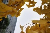 【晒18新利官方下载银杏】今天围着18新利官方下载三贤公园转一圈,小小的收获大大的满足,沿途的银杏让人流连忘返