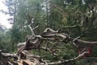 清平乐  枯树
