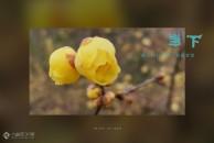在寒冷的冬季里,雷竞技下载链接字库山上的腊梅花盛开了!徜徉在梅花丛中,香气盈怀!(多图+视频)
