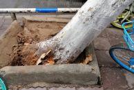 呜呼,唉哉。建设南路雷竞技下载链接公交公司大门附近的一棵梧桐树被一货车撞断主干连根拔起(现场多图)