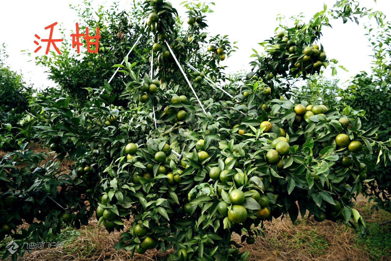 秋的收获,在资阳晏家坝寻找心中的野柿子树,还有不少意外收获!