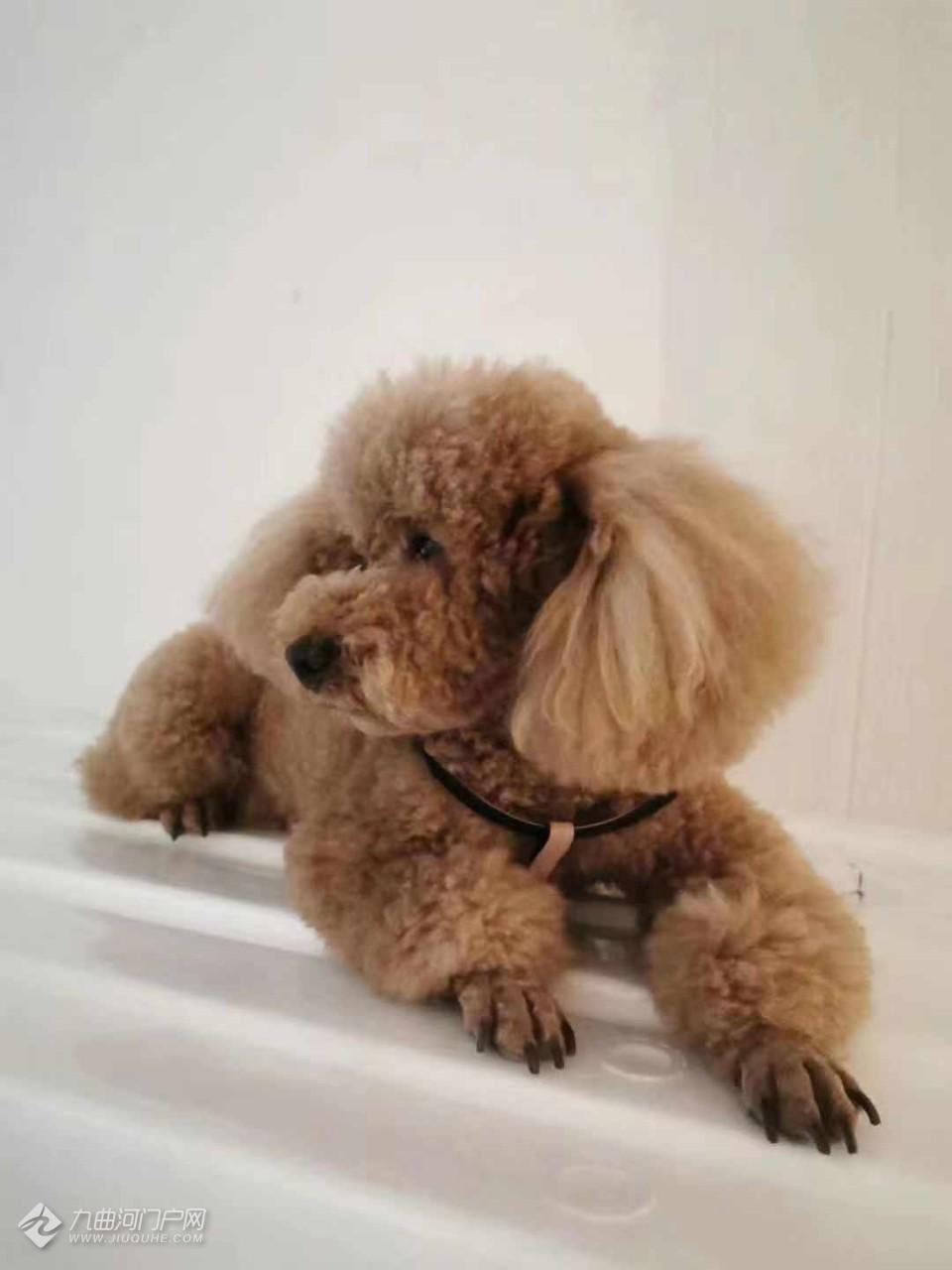 寻狗启示:11月19日下午四点半,我家泰迪狗狗在禾邦都市绿洲附近丢失