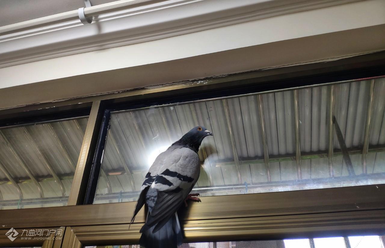 昨天那只受伤的信鸽元气恢复不少,发现它可以飞了,有望康复!