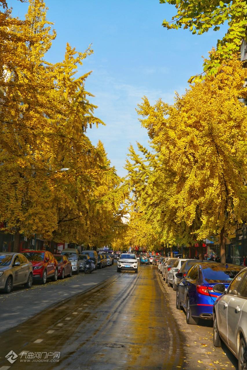 【晒资阳银杏】资阳最美街道来了!小北街的银杏叶已到了赏叶最佳季,美得一塌糊涂! ... ...