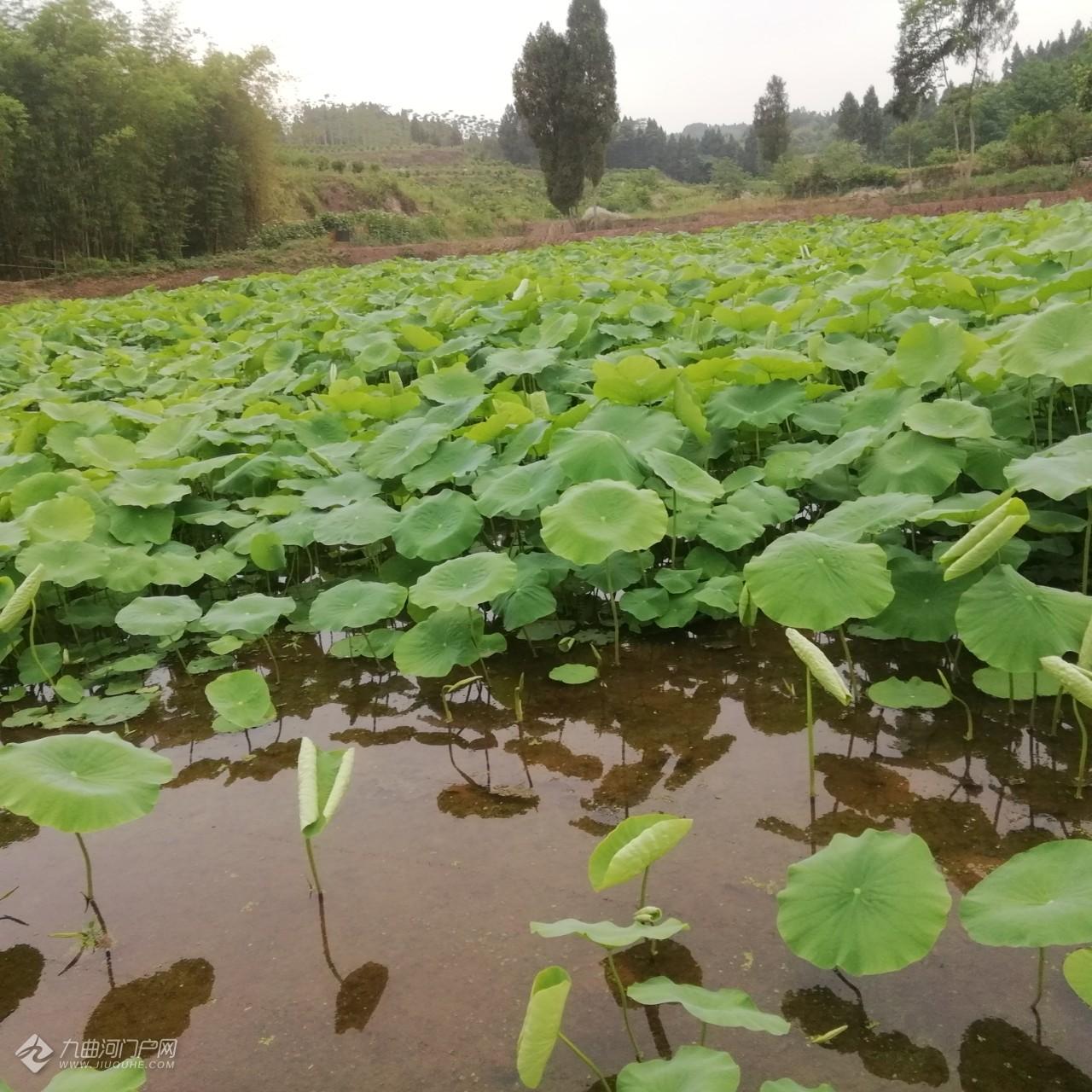 夏天来了,农田里出淤泥而不染的荷叶展示了它们漂亮的一面!