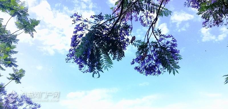 九曲河两岸蓝花楹满树花开,紫意盈盈,似无语与我对笑!