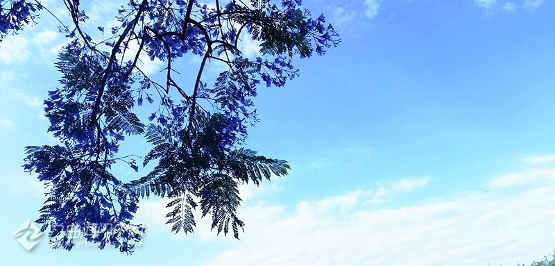 九曲河两岸蓝花楹满树花开,紫意盈盈,似无语与我对笑。