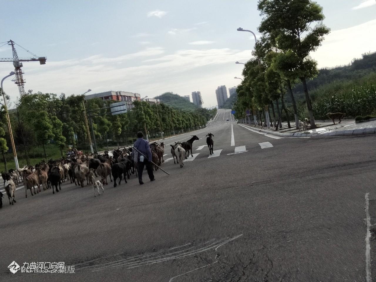 我在下班的路上居然偶遇了羊群,大大小小可能有上百头!