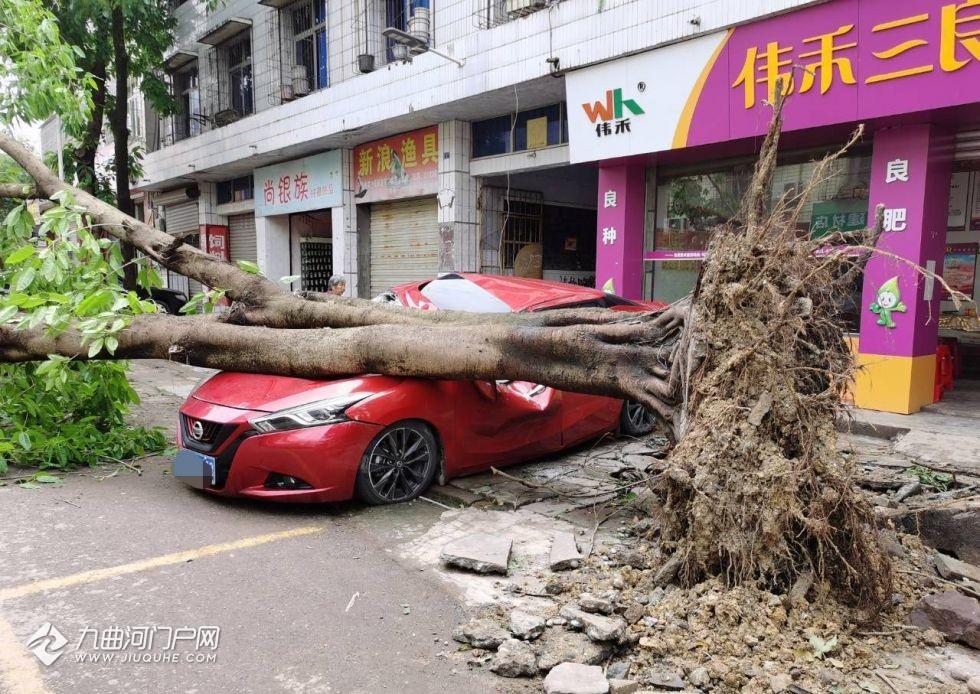 昨夜大风,资阳老君场镇上一大树被连根拔起,停在树下的一辆小车糟了殃…
