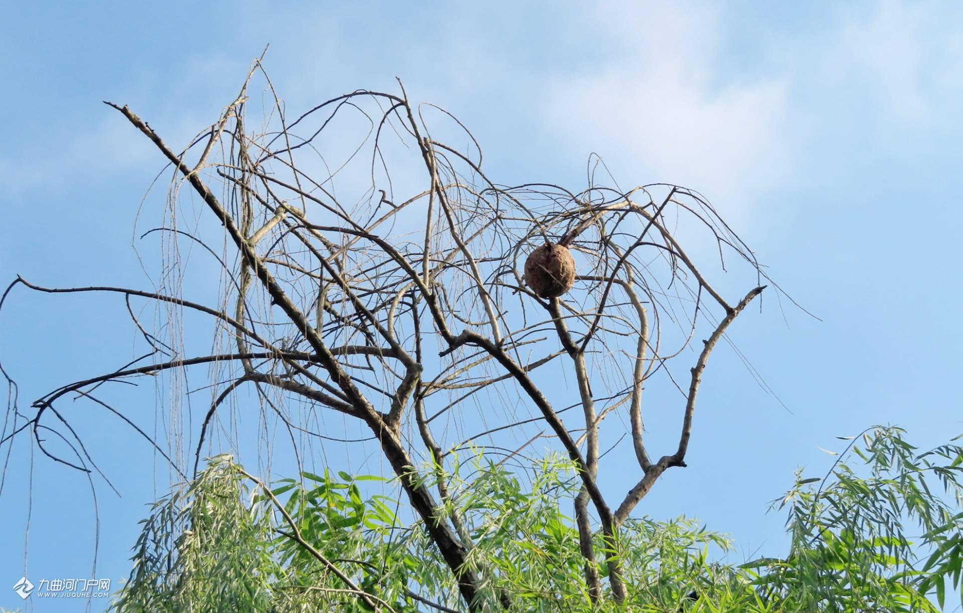 最壮观的马蜂窝!好像倒垂的一只大莲蓬,无数黄色的马蜂在爬进爬出...