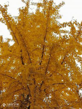 新年首帖!看看這銀杏樹,葉子黃完了也還是很好看!
