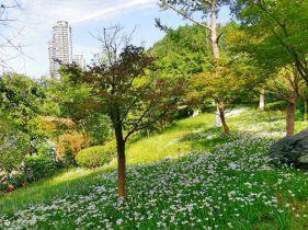 快去看!资阳九曲河畔的葱兰花好漂亮,请观赏今天拍的照片!