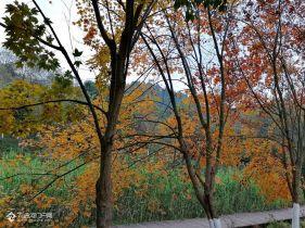 分享大资阳的美丽初冬,湿地公园的彩林和小北街的银杏为大资阳增色不少!