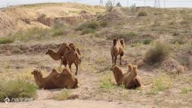 鄂尔多斯的沙漠骆驼好悠闲,不过这里还是有点热